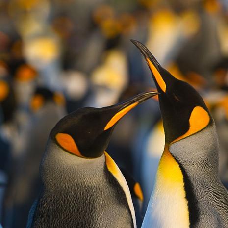 114 King Penguins--Courtship--Falklands