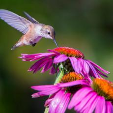 1513 Rufous--Hummingbird--Steilacoom Garden