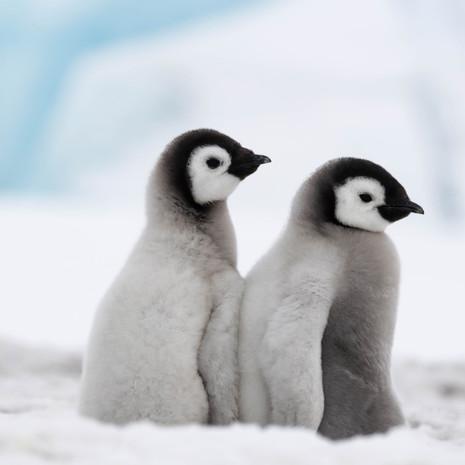 106 Emperor Penguins--BFFs--Snow Hill