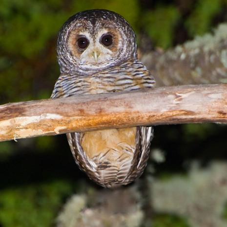 714 Rufous-legged Owl--Lechuza--Tierra del Fuego--Argentina
