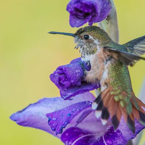 1510 Rufuous Hummingbird--Takes a Shower--Garden