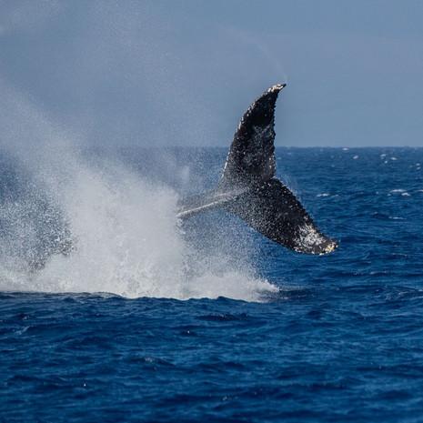 1807 Humpback Whale--Lobtail--Kaanapali--Maui