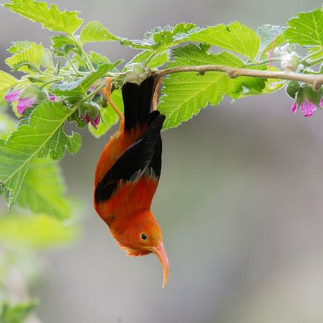 1801 I'iwi--Endemic Species--Hawaii