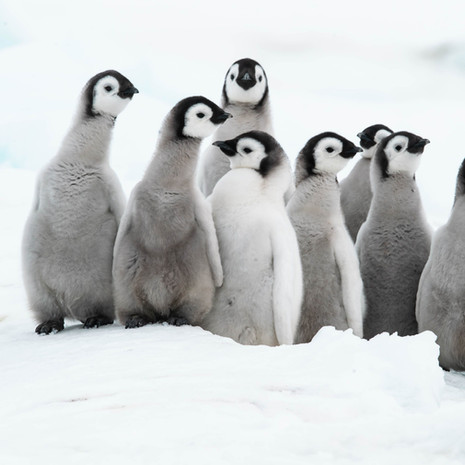 108 Emperor Penguins--Creche--Snow Hill