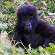 1116 Gorilla--Baby 2--Bwindi--Impenetrable Forest--Uganda
