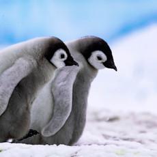 107 Emperor Penguins--BFFs--Snow Hill