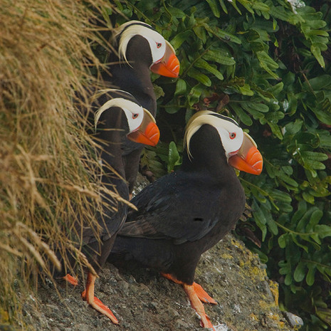 1425 Tufted Puffin--Three--Tatoosh Island