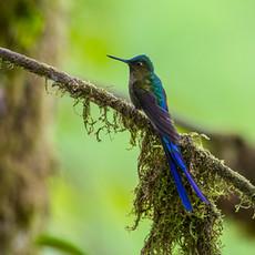 716 Violet-tailed Sylph--Mindo--Ecuador
