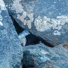410 Little Penguin--Fairy--Stewart Island New Zealand