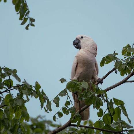 1225 Mollucan Cockatoo--Indonesia
