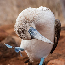 1006 Blue-footed Booby--Dance--North Seymour Island
