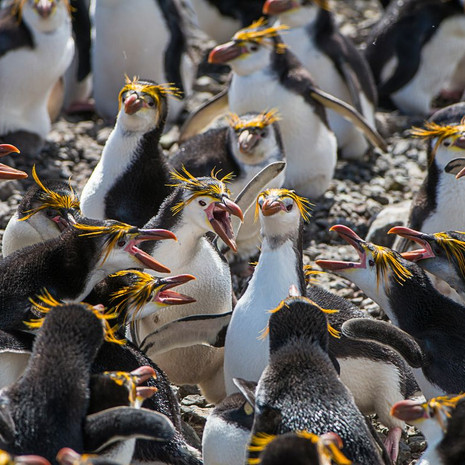 220 Royal Penguin--What Did I Say--Macquarrie Island