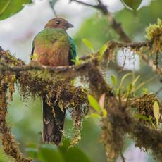 713 Quetzal--Golden-headed--Female--Mindo--Ecuador