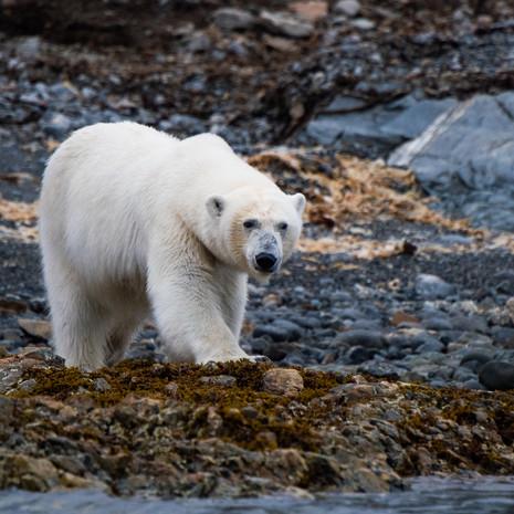 1900 Polar Bear--Mother Approaching--Svalbard
