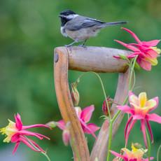 1505 Black-capped Chickadee--Columbine--Garden