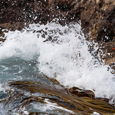 228 Snares Crestred Penguin--Ho Ho Bay--Snares Island