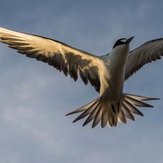 530 Sooty Tern--Flight--Ascension Island