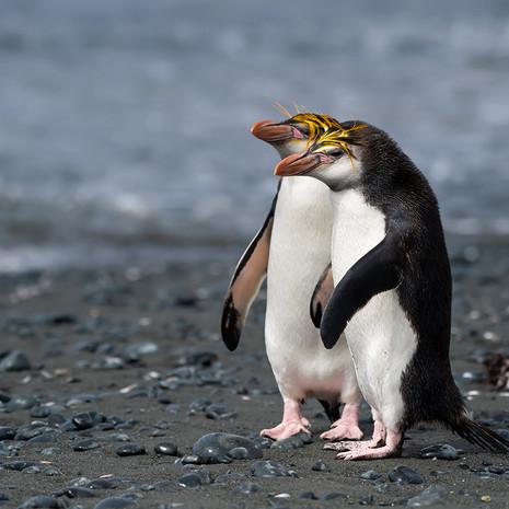 216 Royal Penguin--Sandy Bay