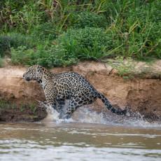 811 Jaguar--River Run--Pantanal Brazil