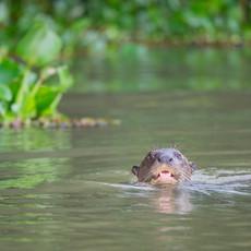 808 Giant River Otter--Pantanal Brazil