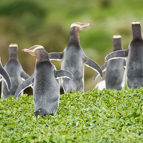 239 Yellow-Eyed Penguins--Scurry--Enderby Island