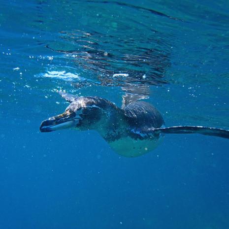 409 Galapagos Penguin--Swimming--Bartolome