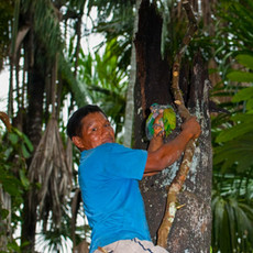 1211 Blue-head Parrot--Wildlife Trafficking 2--Amazon Basin--Ecuador