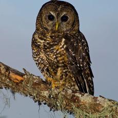 1415 Spotted Owl Portrait--Cascade Mountains