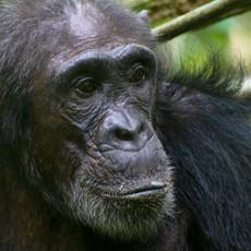 1111 Chimpanzee--Gweculo--Female--Mahale--Tanzania