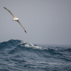520 Wandering Albatross--Southern Ocean