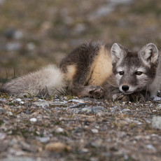 1921 Arctic Fox--Summer Colors--Svalbard