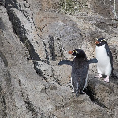 231 Snares Crested Penguin--Ho Ho Bay--Snares Island
