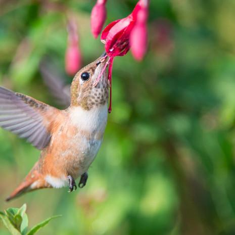 1507 Rufous Hummingbird--Immature--Fuschhia--Garden