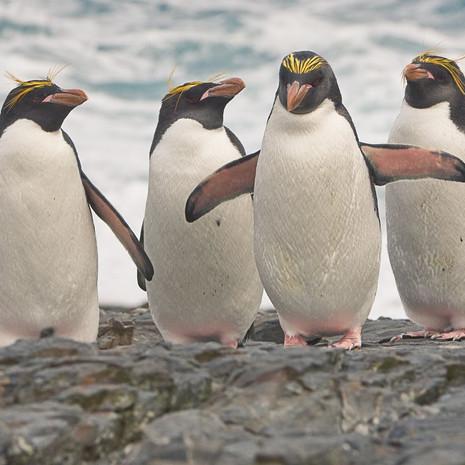 213 Macaroni Penguins--Return from Sea--Cooper Bay South Georgia Island