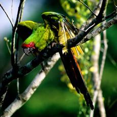 1215 Great-green Macaw--Costa Rica