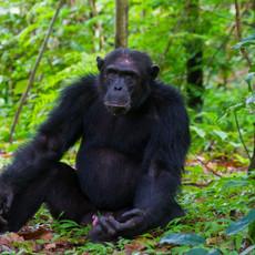 1114 Chimpanzee--Christmas--Mahale--Tanzania
