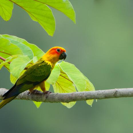 1233 Sun Conure--Discovering a Lost Species--Guyana