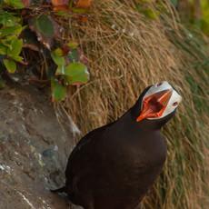 1423 Tufted Puffin--Mouth--Tatoosh Island--Washington Coast