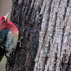 1426 Red-breasted Sapsucker--Camano Island--Washington State