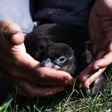 417 Little Penguin--White-flippered Penguin--Rehab