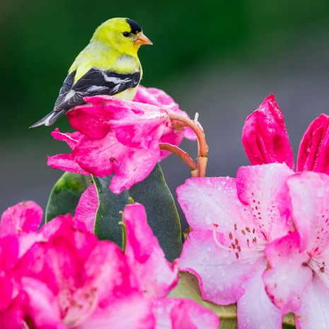 1500 American Goldfinch--Garden