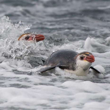 218 Royal Penguin--Sandy Bay.jpg