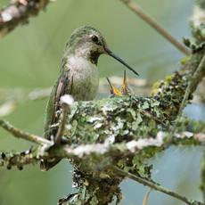 1501 Anna's Hummingbird--Nest--Northwest Garden