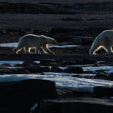 1912 Polar Bear--Mother and Two Cubs--Svalbard
