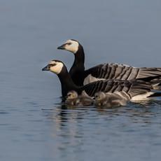 1932 Barnacle Geese--Family--Svalbard