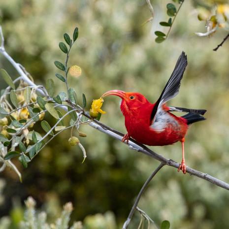 1800 I'iwi--Endemic Species--Hosmer Grove--Maui--Hawaii