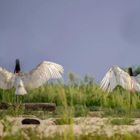 823 Jabaru-Courtship Dance--Pantanal Brazil