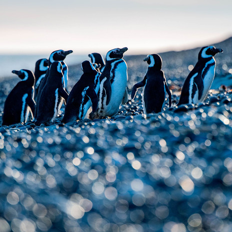 407 Magellanic Penguins--Walking on Sunshine