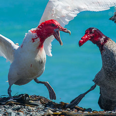 524 Southern Giant Petrel--Fight at Carcass--Macquarie