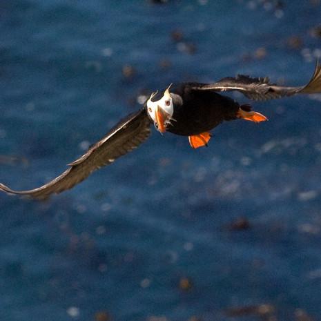 1421 Tufted Puffin--Flying--Tatoosh Island--Washington Coast